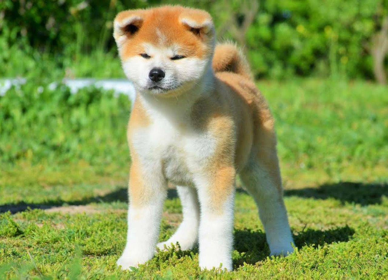 Японские породы собак: описание внешности и особенностей характера