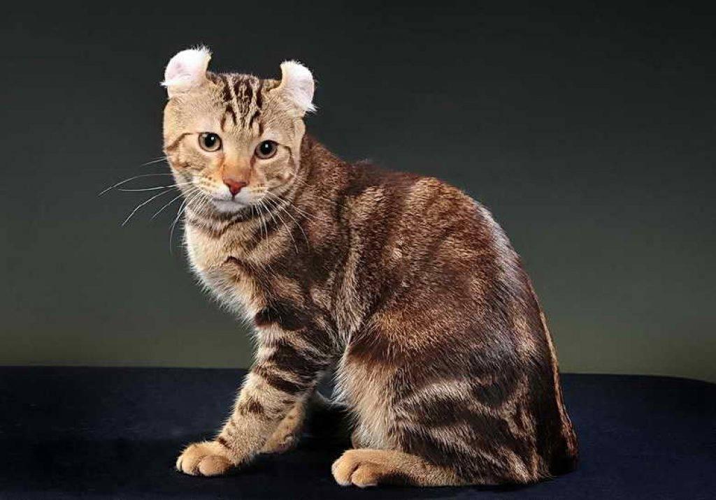 Американская короткошерстная: 115 фото и видео описание стандарта и основных характеристик кошек
