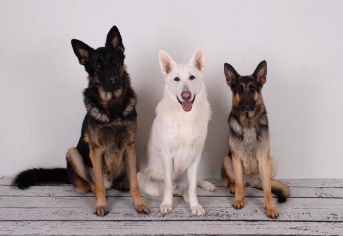 Как распознать щенка немецкой овчарки?