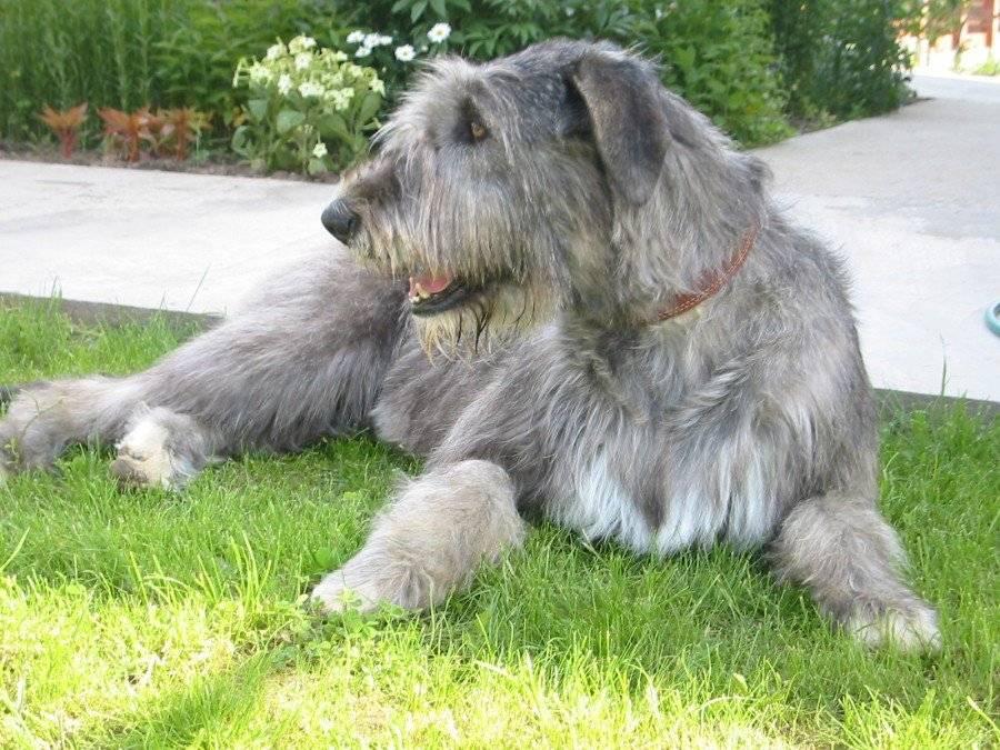 Волкодавы: породы собак, способные справиться с дикой опасностью