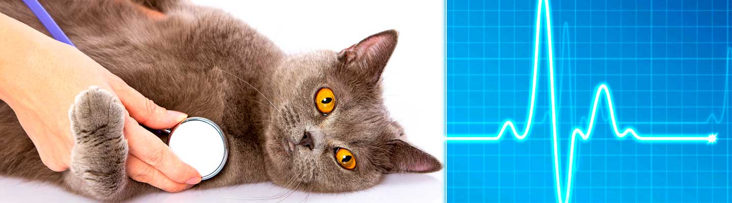 Сердечная недостаточность у кошки: симптомы, причины и диагностика, лечение, профилактика