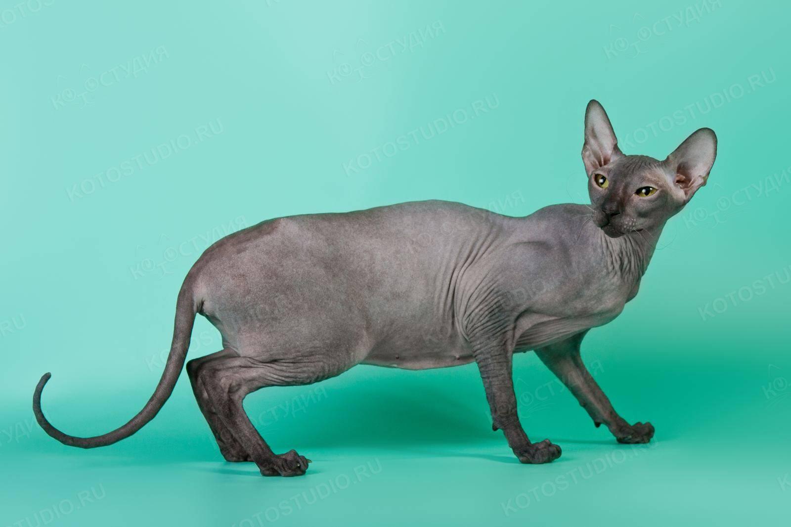 Петерболд (фото): грациозный кошачий сфинкс с берегов невы - kot-pes