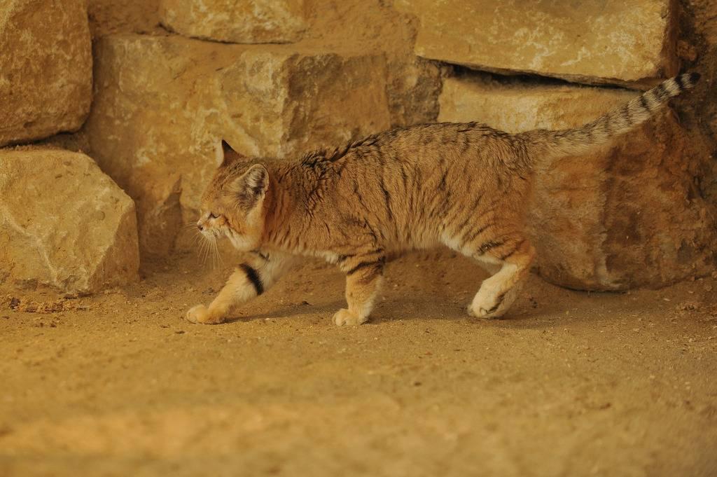 Барханный кот. образ жизни и среда обитания барханного кота   животный мир