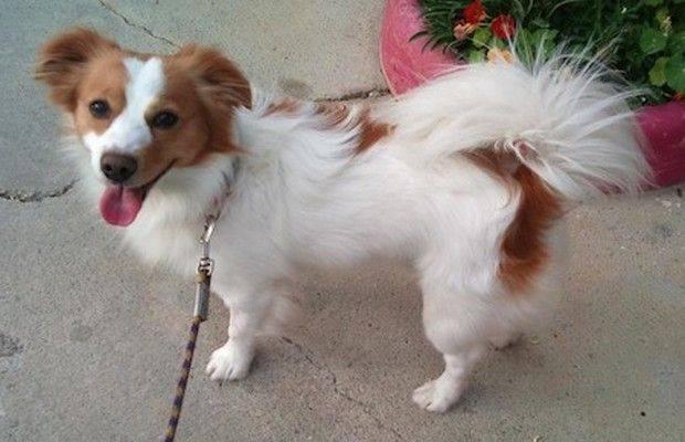 Алопекис: описание породы собак, интересные фото