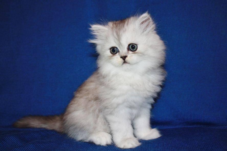 Шиншилла (кошка) – подробная информация от а до я