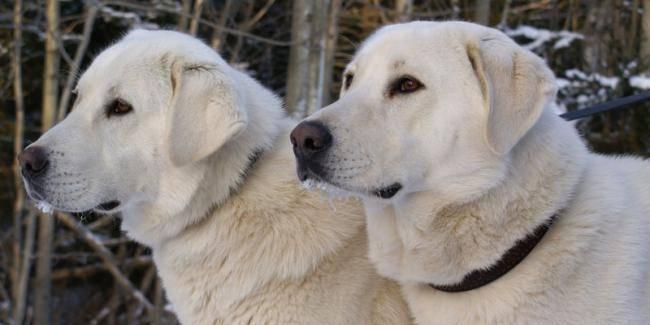 Турецкие породы собак