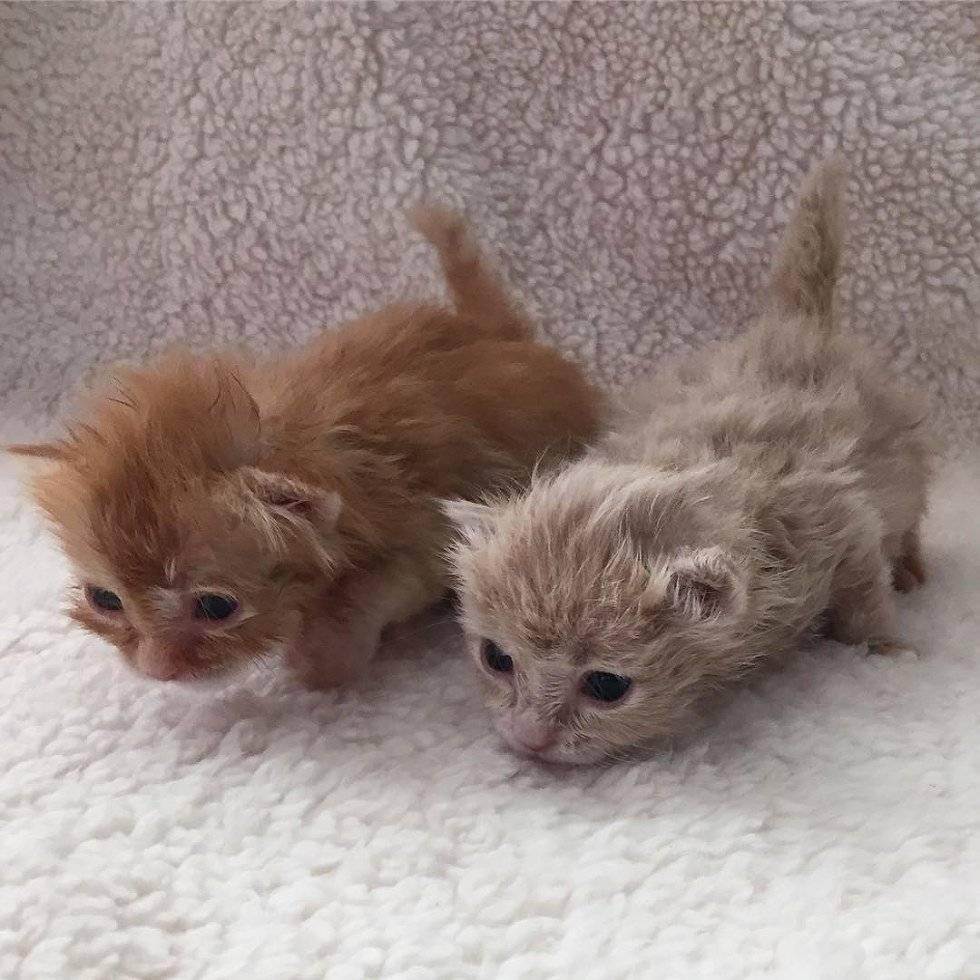 Самые маленькие породы кошек в мире - pet-mir.ru