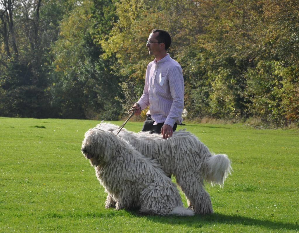 Комондор, или венгерская овчарка: описание и уход