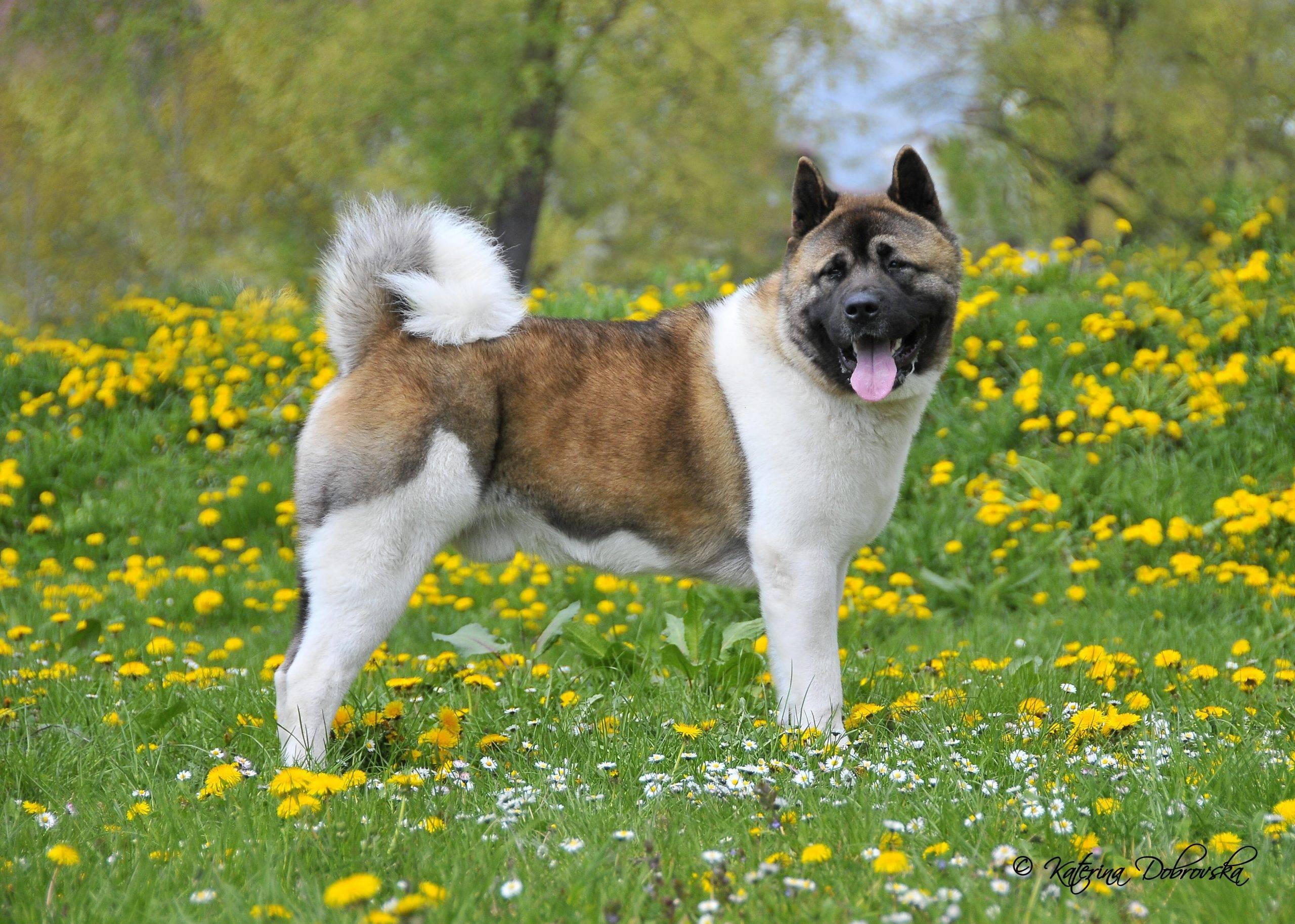 Американская акита - описание и характер породы, выращивание и уход за щенками, кормление и цены
