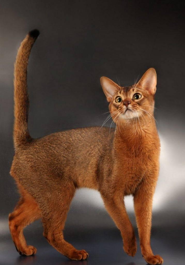 Абиссинская кошка: 7 особенностей характера