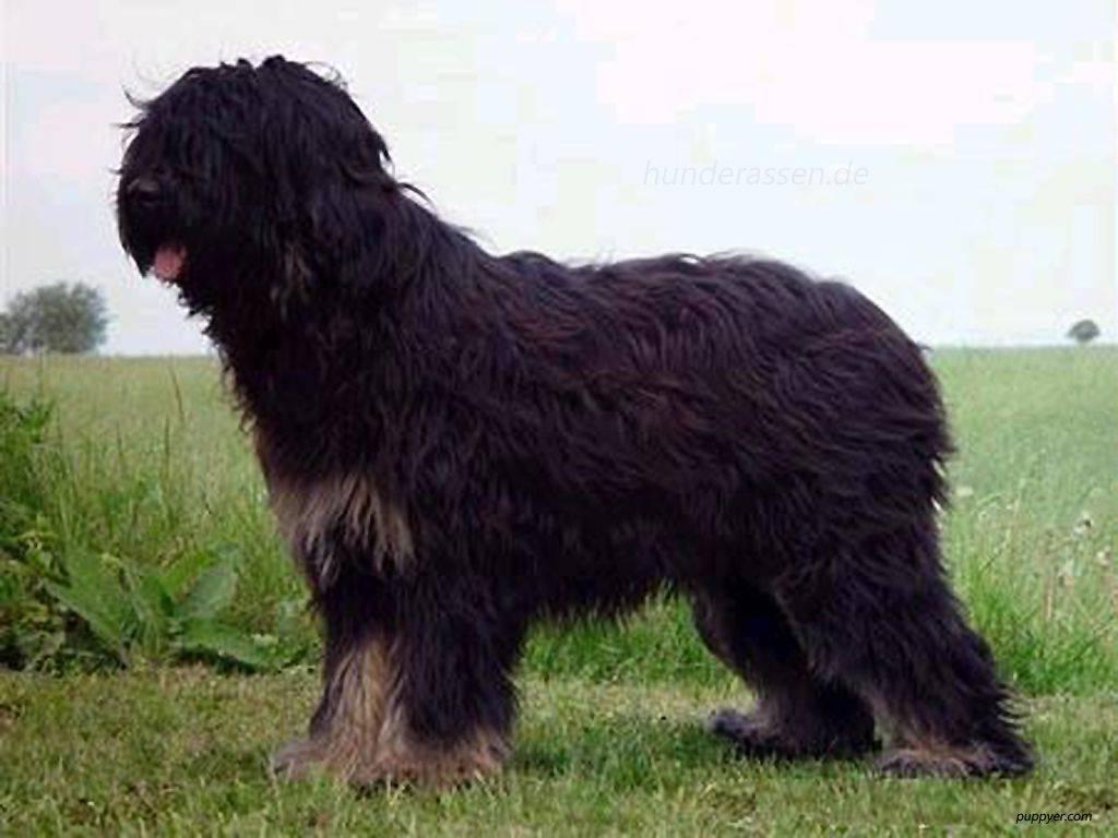 Собаки породы као да серра де айрес, характерные особенности, история происхождения и стандарты породы