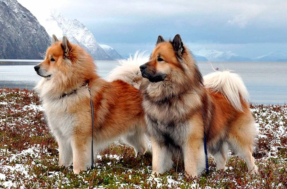 Евразиеры (28 фото): описание породы собак, особенности ухода за щенками