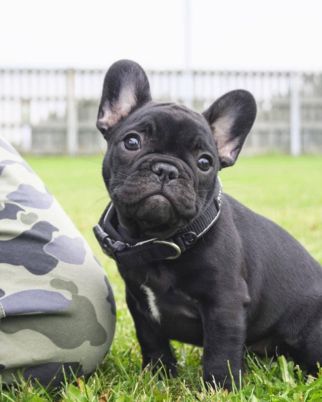 Французский бульдог: стандарты породы собаки