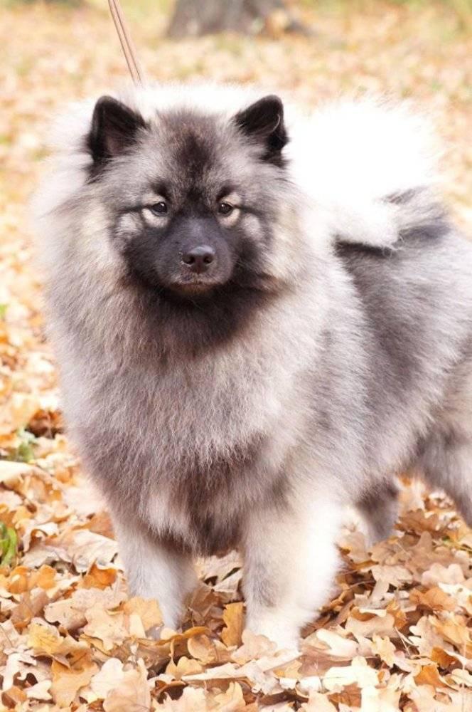 Кеесхонд (вольфшпиц) — описание породы и характер собаки