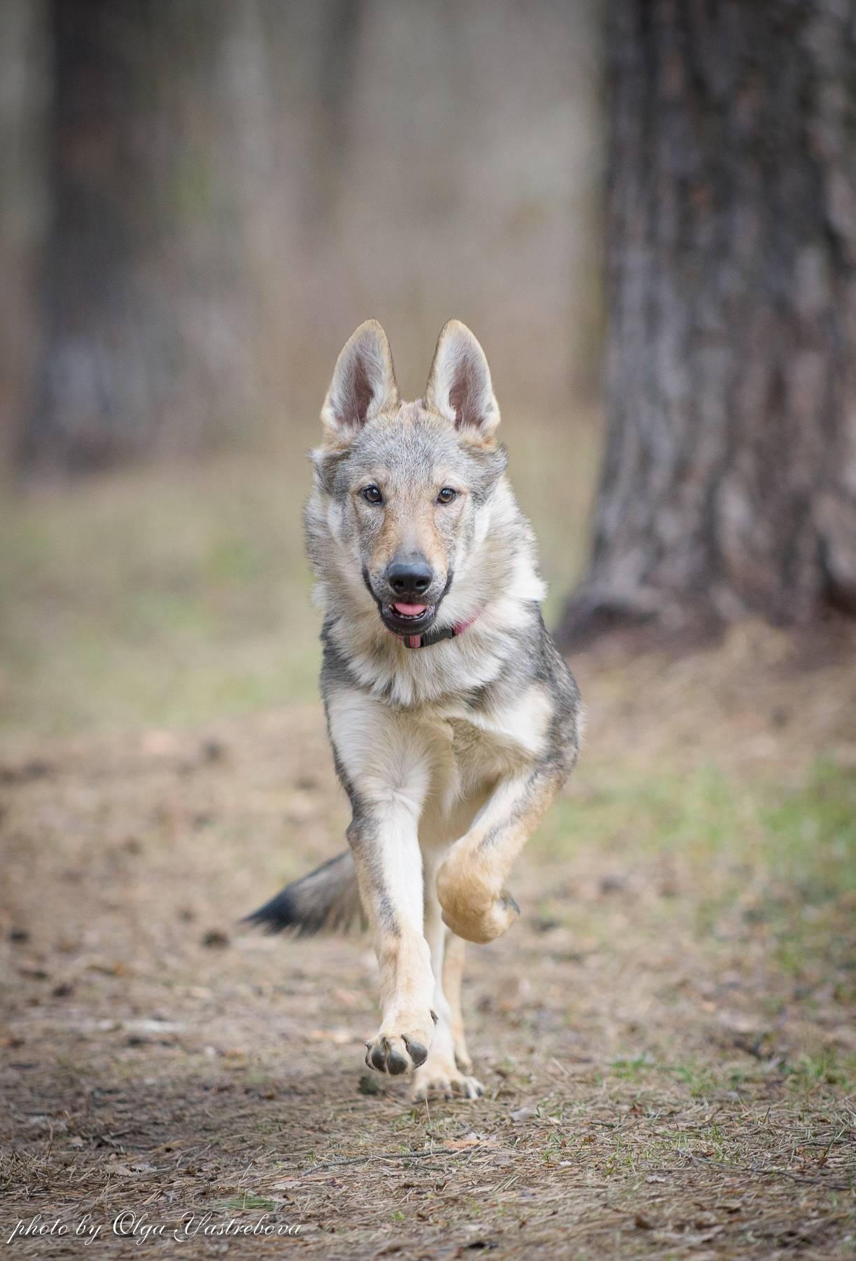 Чехословацкая волчья собака (49 фото): описание чешского волчака, характер породы, правила содержания