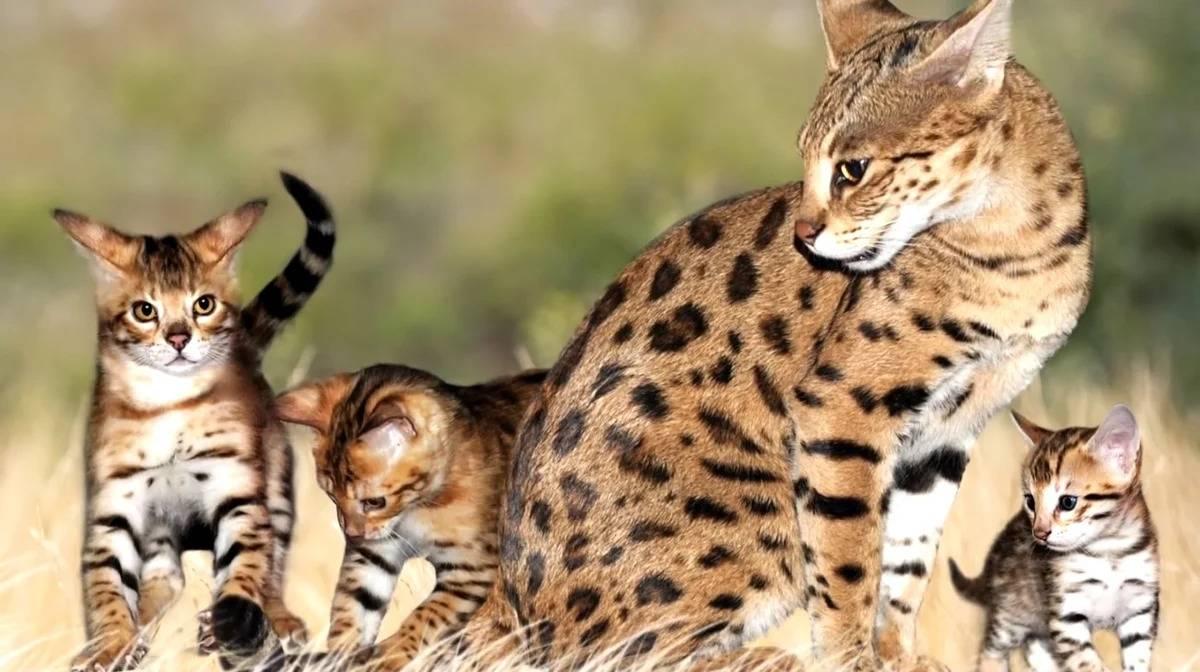 Сервал порода кошек — африканская кошка домашняя