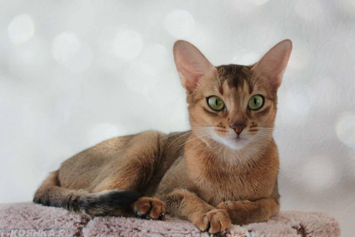 Абиссинская кошка: особенности породы, фото и характер абиссина, выбор котёнка абиссинца, уход и содержание питомца, корм для кота