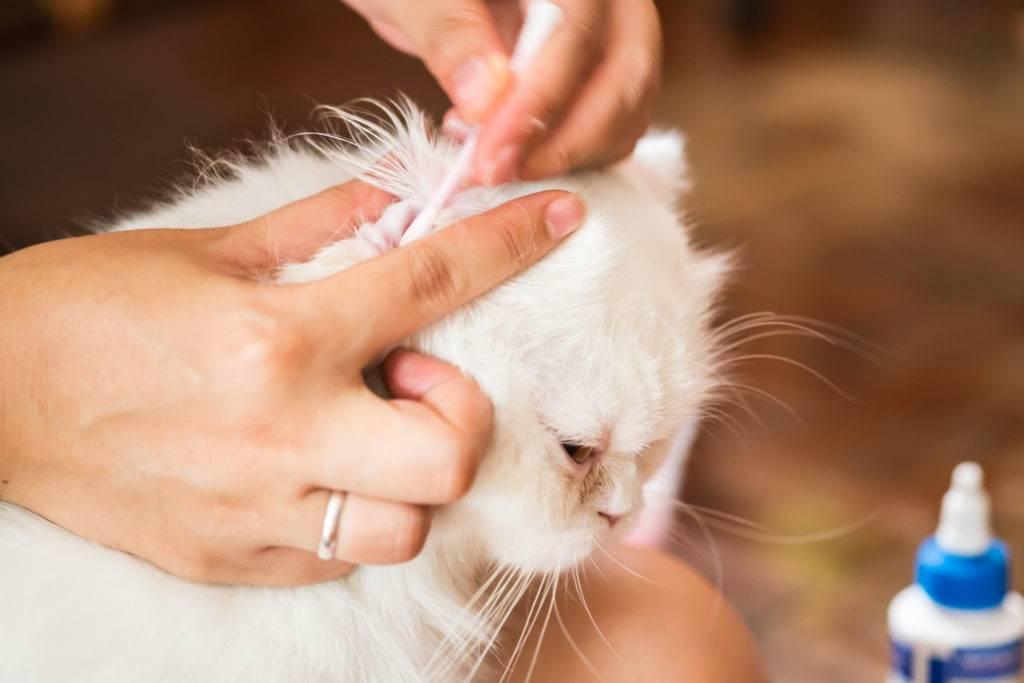 Почему у котов и кошек горячие или холодные уши | причины, что делать