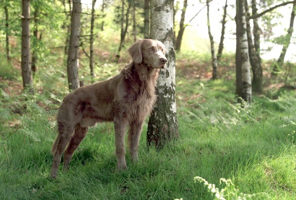 Дратхаар (немецкая жесткошерстная легавая) — фото, описание породы собак и характеристика