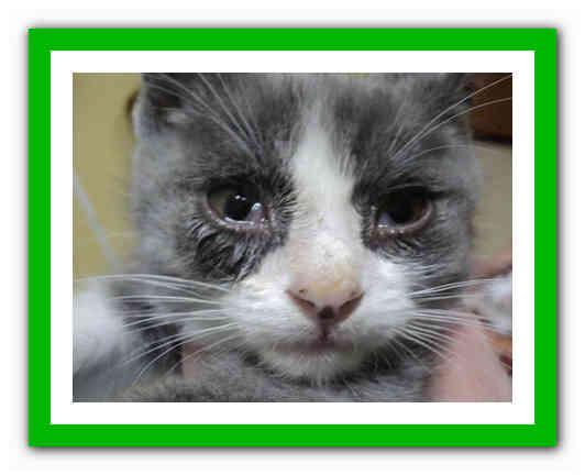 Герпесвирус кошек (вирусный ринотрахеит кошек)
