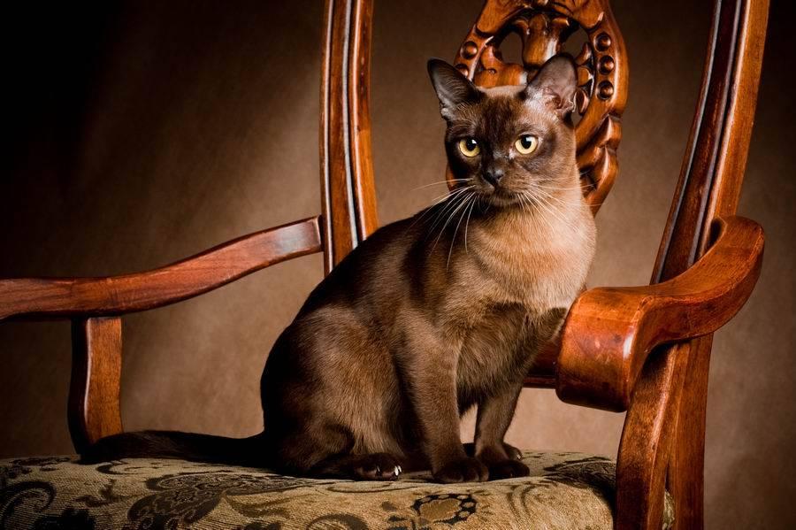 Бурмилла — кошка с подведенными глазами