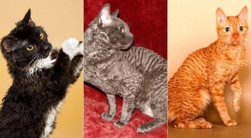 Тонкинская кошка: описание внешности и характера, уход за питомцем и его содержание, выбор котёнка, отзывы владельцев, фото тонкинеза