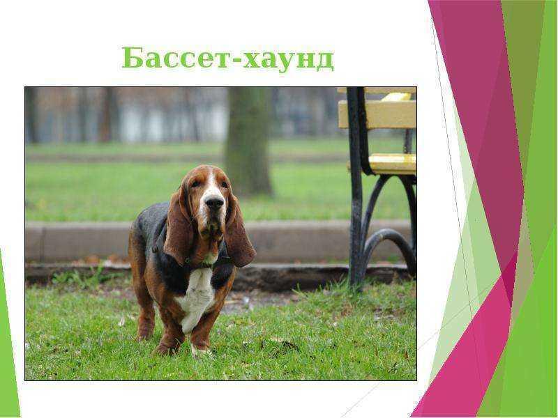 Бассет хаунд (бассет) — описание породы собак