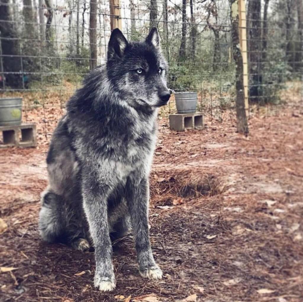 Знакомьтесь, это мой домашний волк. породы собак похожие на волков