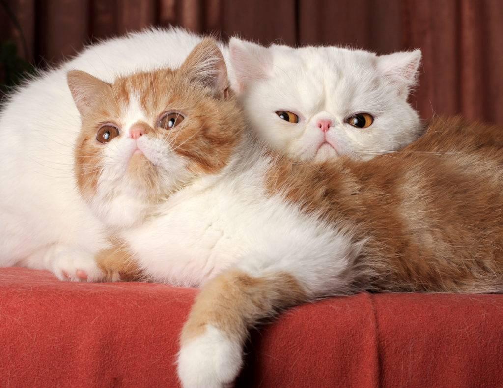Кошка экзот: история появления, внешность породы и характер экзотических короткошерстных котов