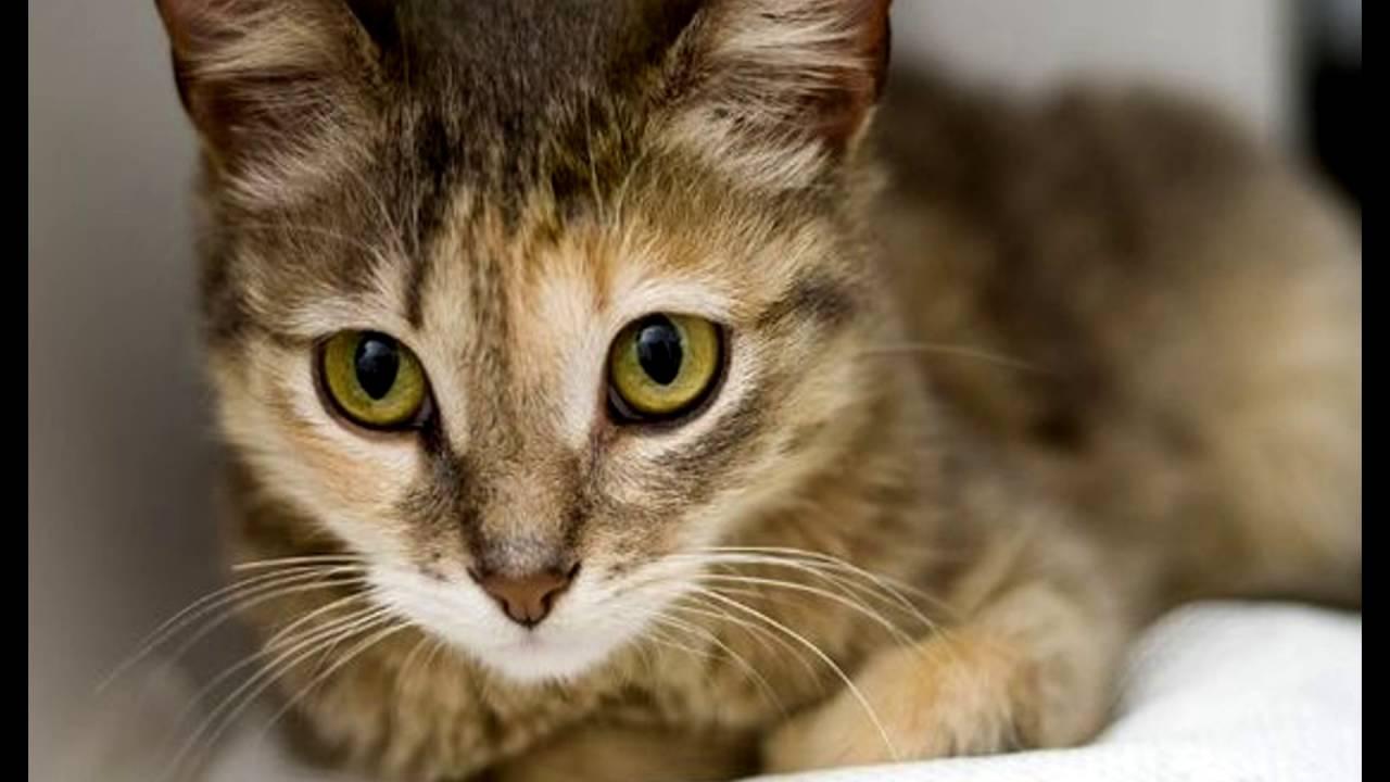 Цейлонская кошка (ceylon cat)