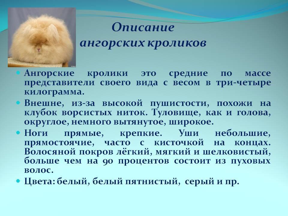 Ангорский кролик: особенности содержания и разведения