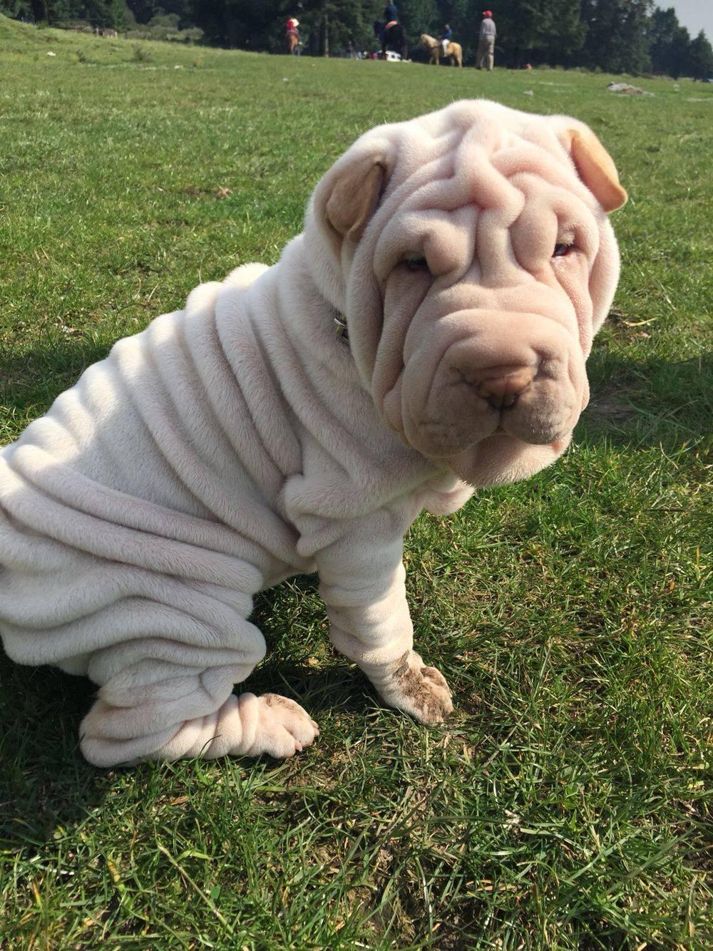Собаки со складками (34 фото): список морщинистых пород собак. как ухаживать за складчатыми собаками?