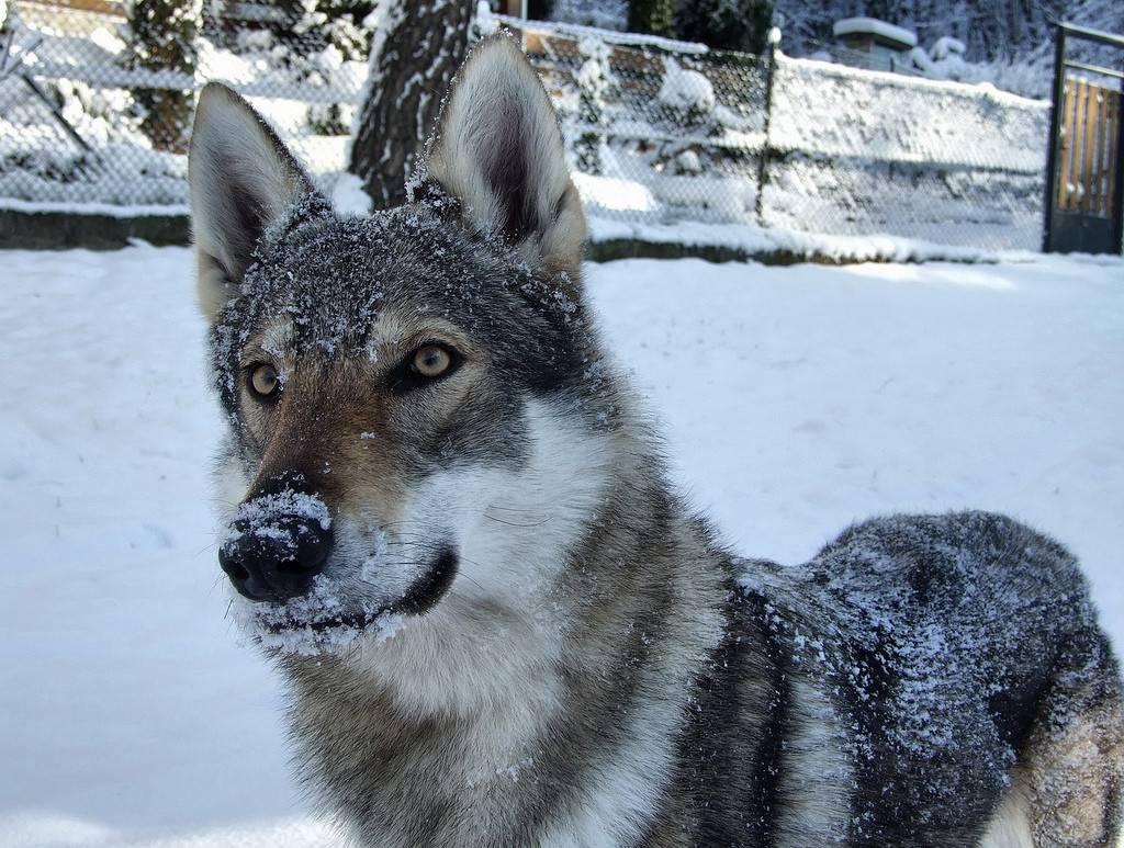Волкособ — гибрид собаки и волка: описание, характеристика пород, условия содержания