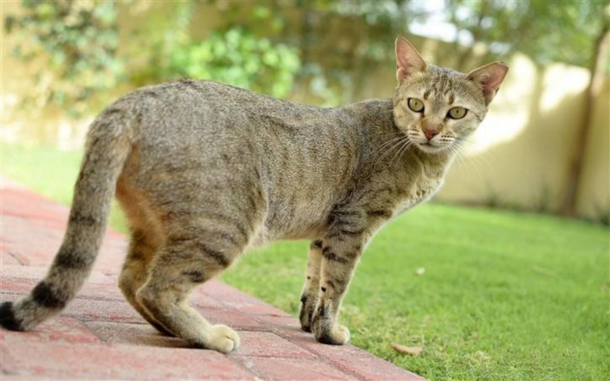 Цейлонская кошка: история породы, правила ухода, цена