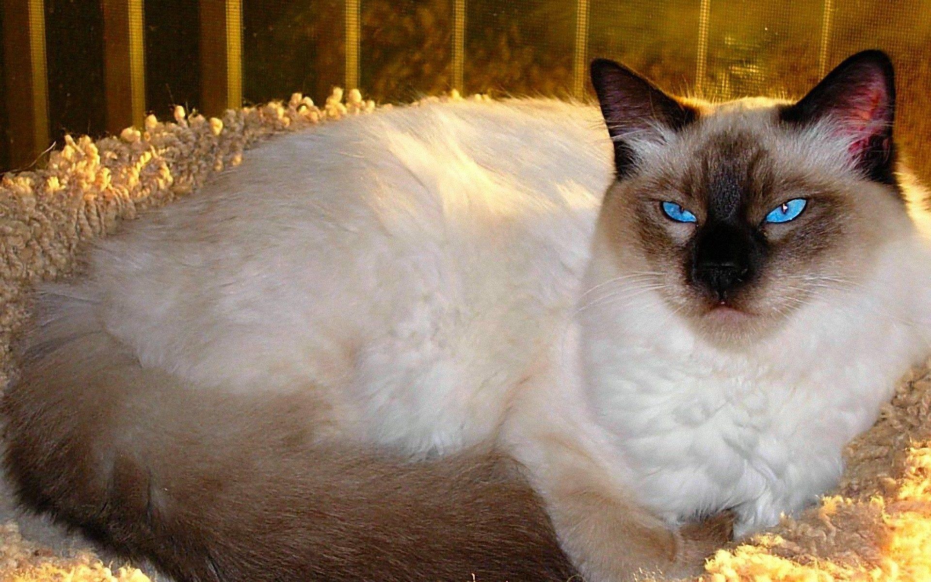 Балинезийская кошка. фото. описание породы и уход. отзывы