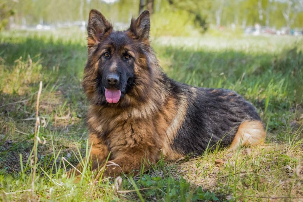 Немецкая овчарка — описание породы собаки от а до я