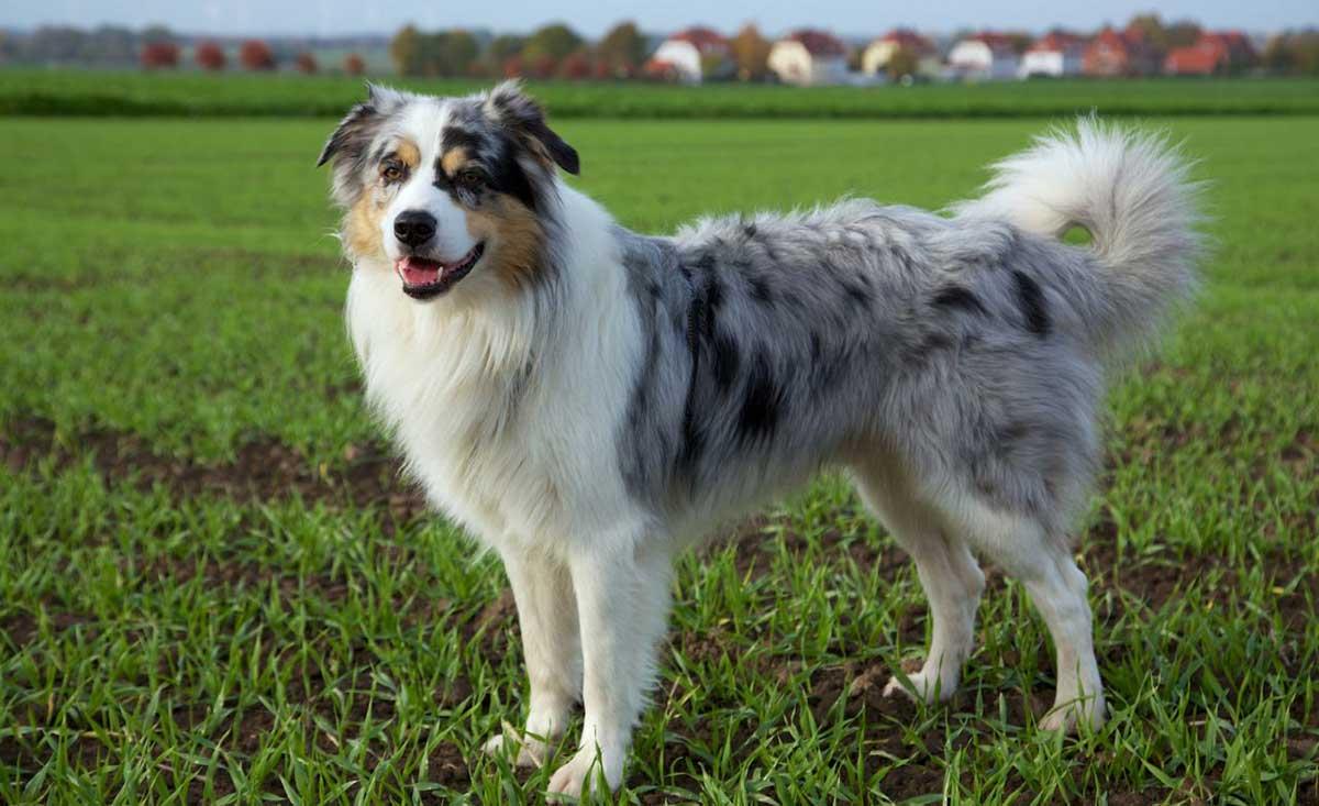 Пастушьи собаки. описание и особенности пастушьих пород собак | животный мир