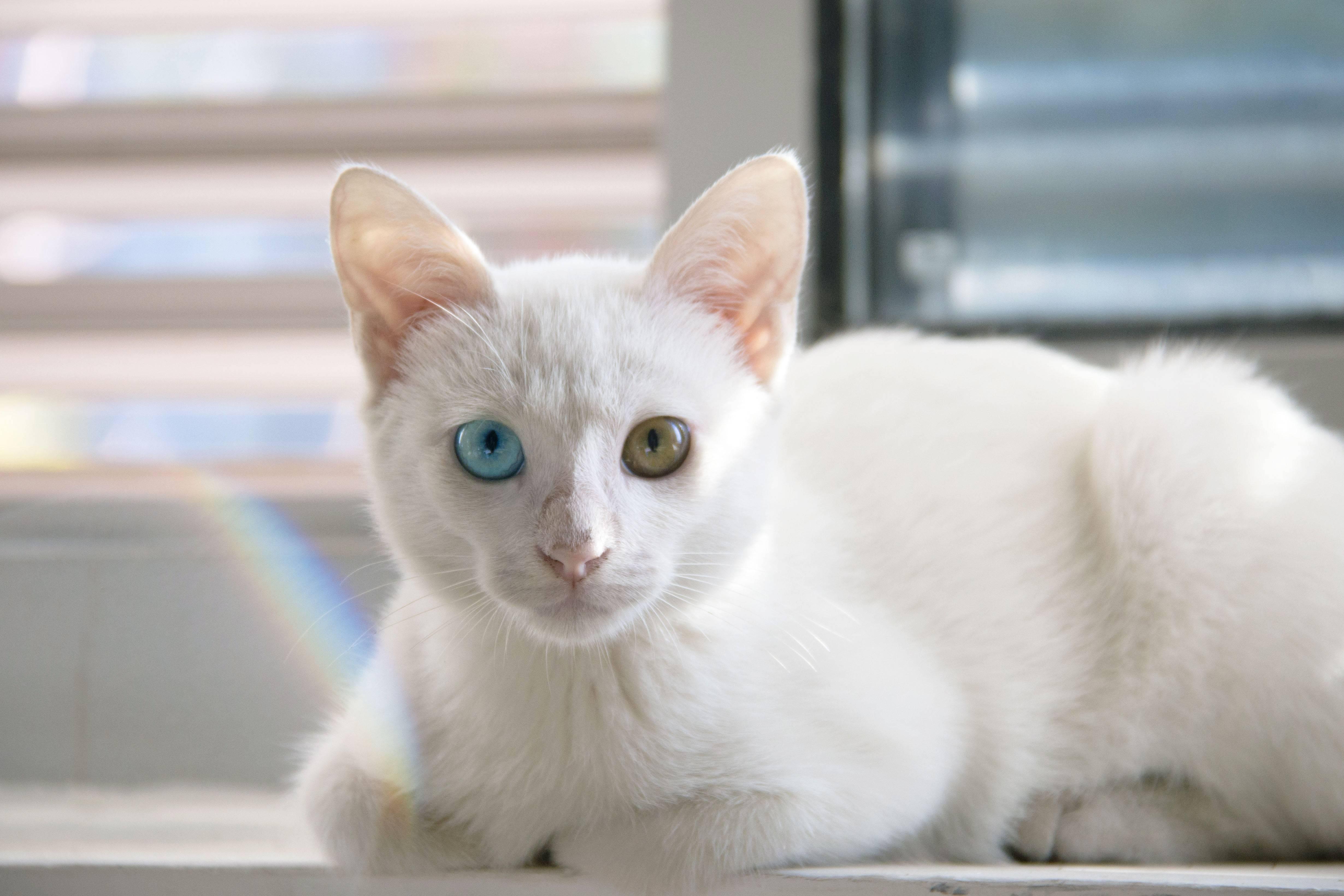 Описание и характер тайской породы кошек као мани – уход и содержание