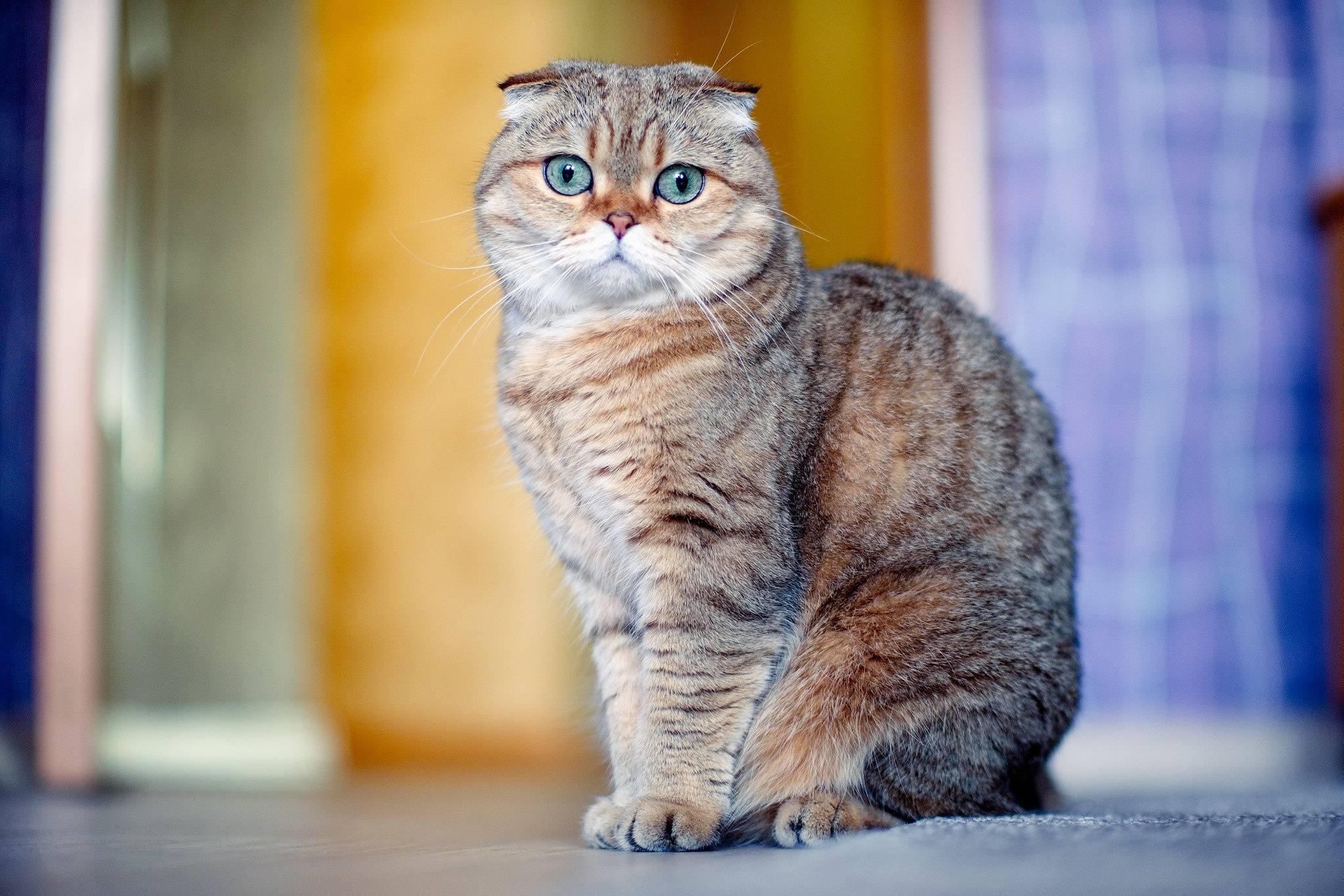 Шотландская вислоухая кошка: характер, описание породы