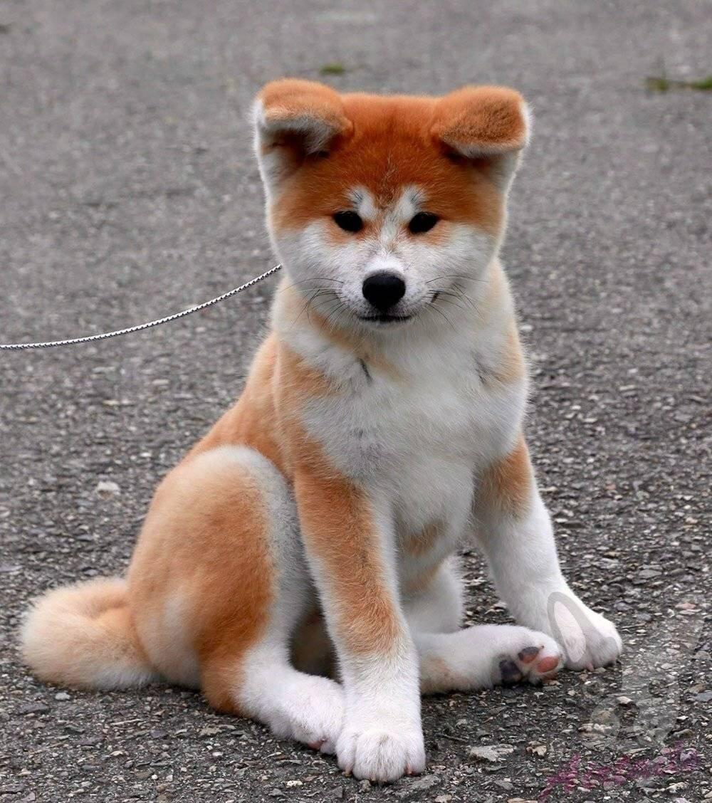 Японский терьер (микадо-терьер) : описание породы собак с фото и видео