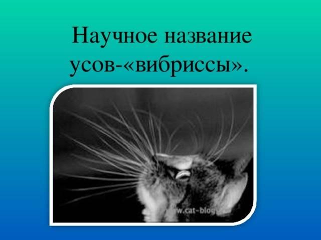 Называются кошачьи усы. зачем коту усы и как они называются по научному