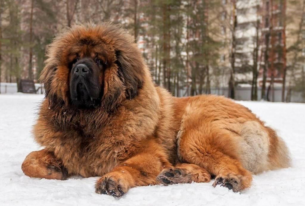 Самые сильные собаки в мире: топ-10