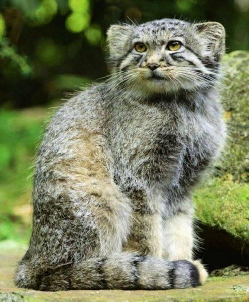 Манул. полное описание животного и образ его жизни в дикой природе