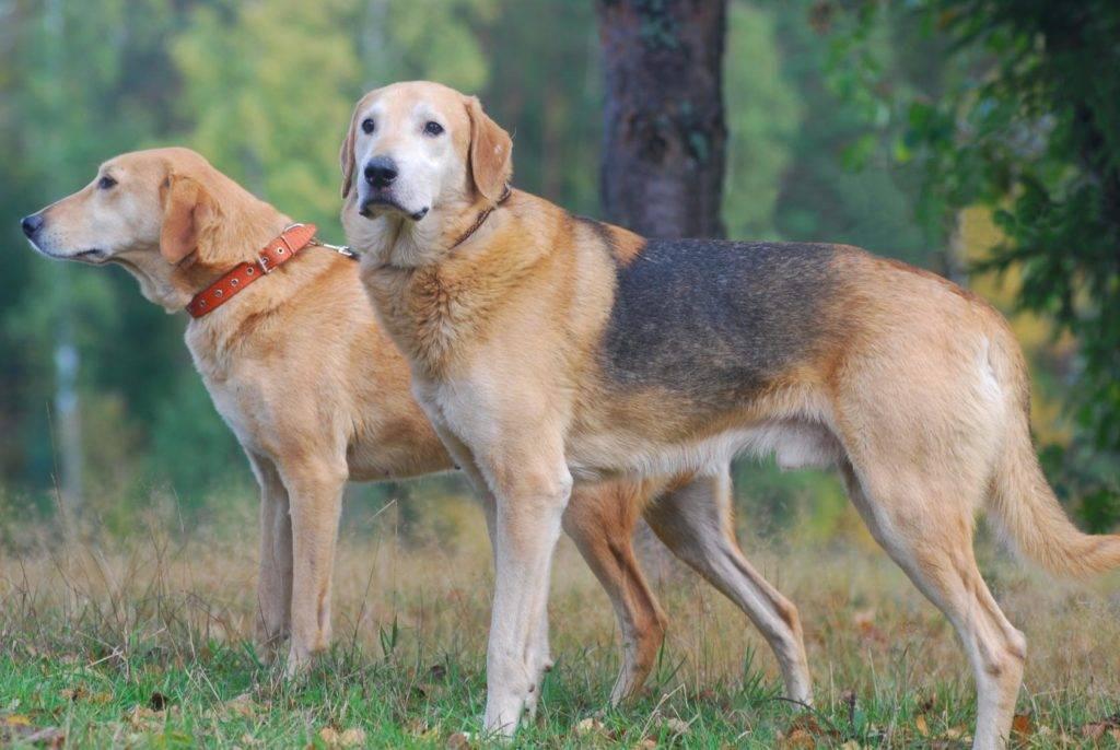 Русская пегая гончая – первоклассная охотничья собака