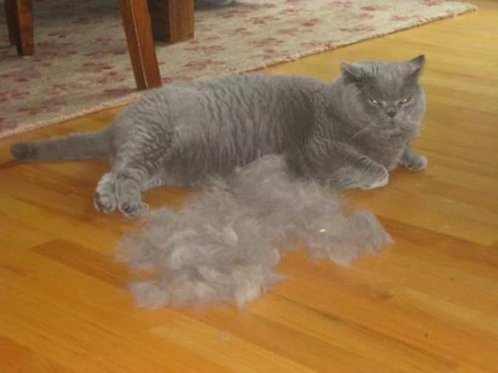 Кот сильно линяет? советы и рекомендации для хозяев
