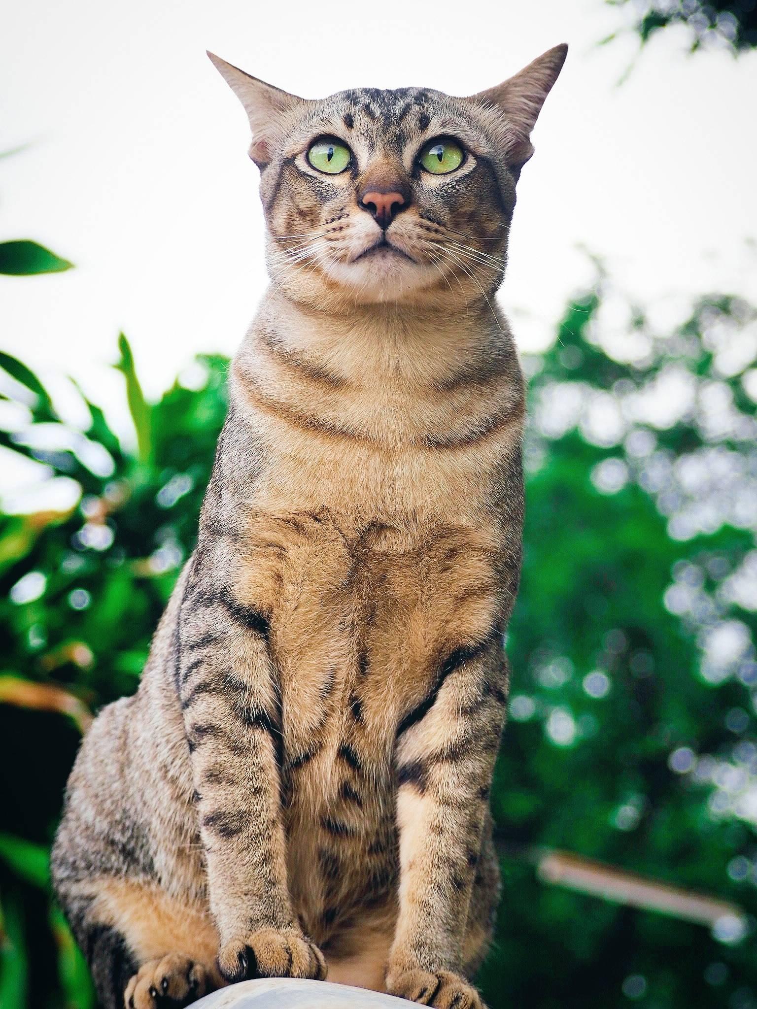 Бразильская короткошерстная кошка: история и особенности породы - мир кошек