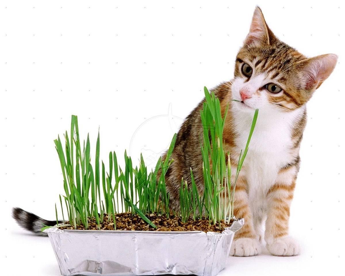 Для чего кошки едят траву, и какую можно давать