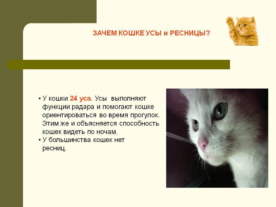 Зачем кошкам усы? как называются усы у кошки?