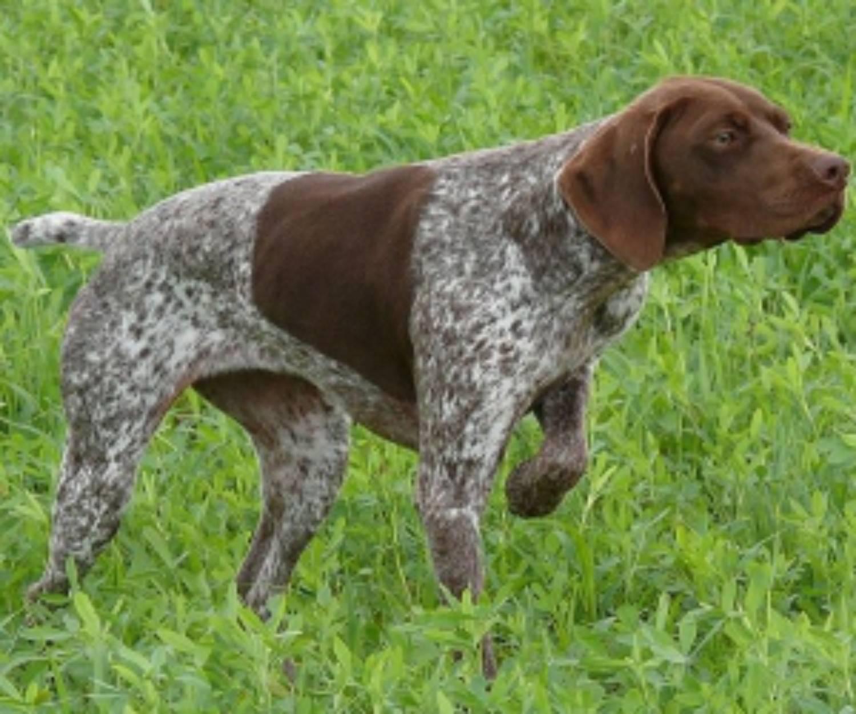 Порода легавых собак: описание, характеристика породы, фото и отзывы