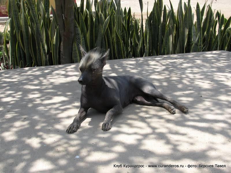 Перуанская орхидея инков - энциклопедия пород собак